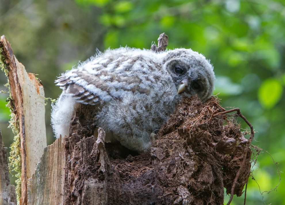 Owl at rest