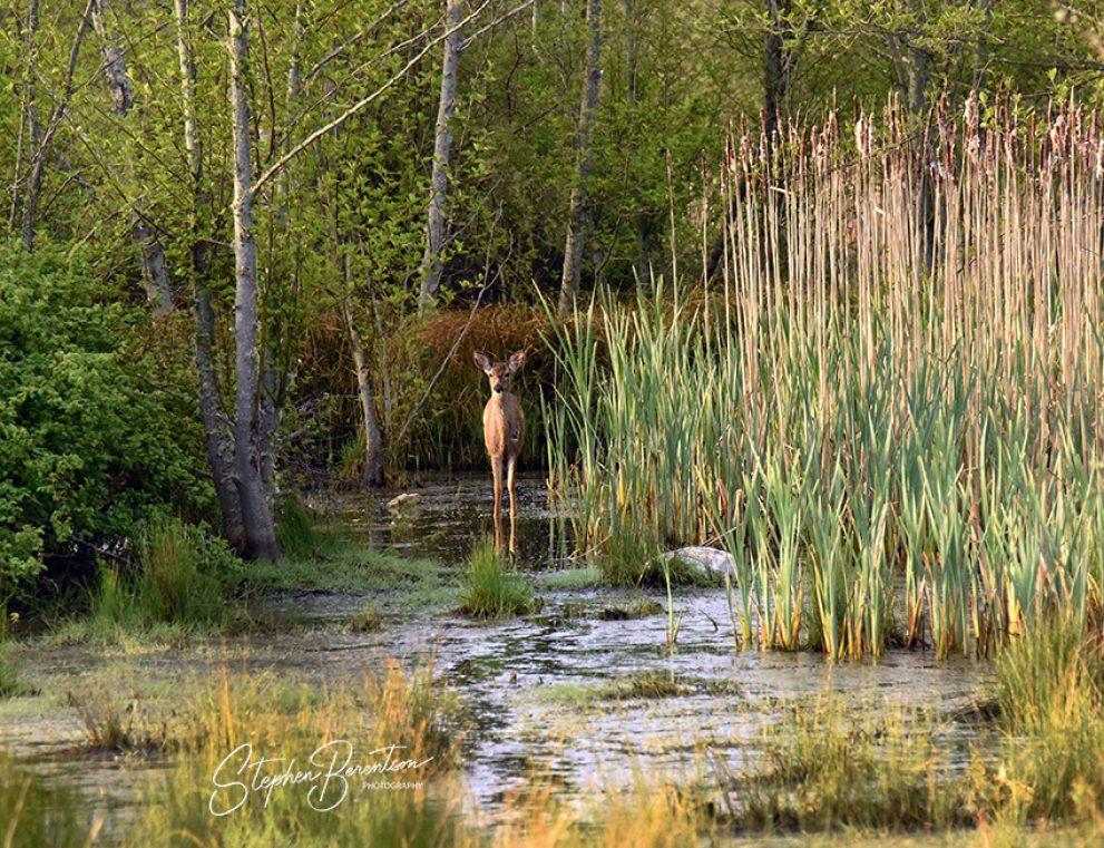 Deer & cattails
