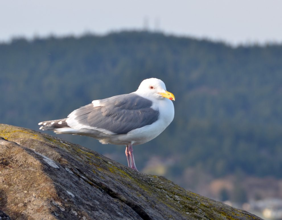 Gull on lookout