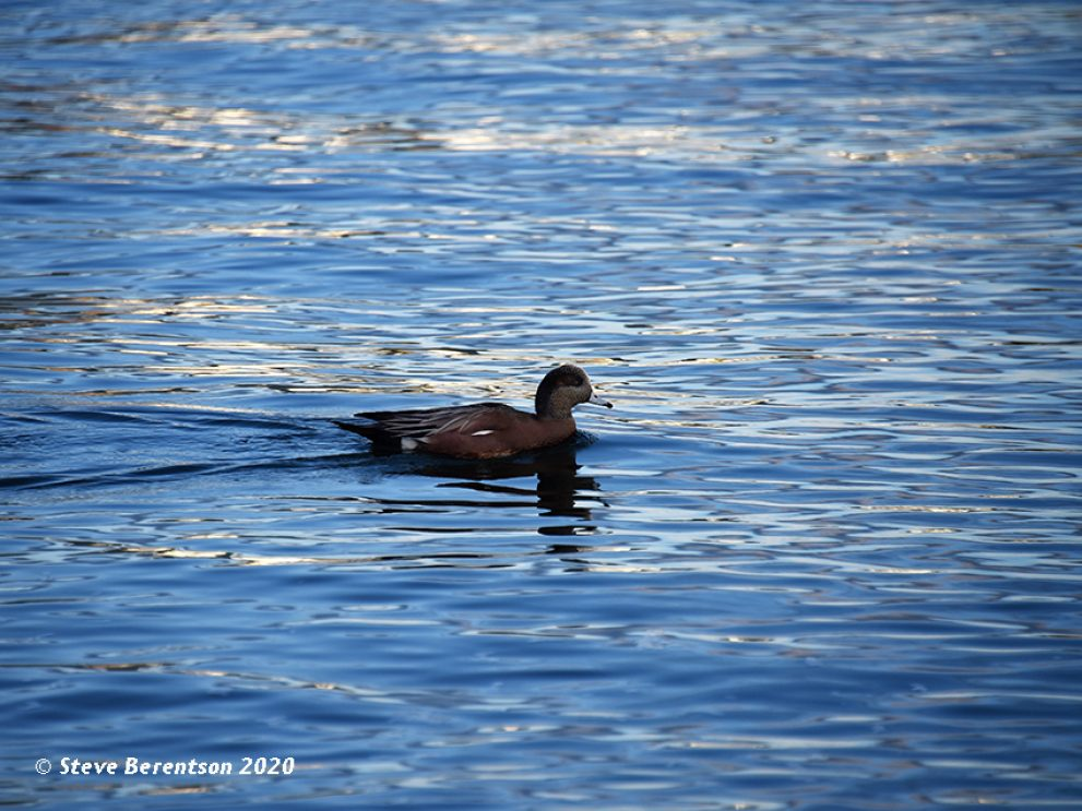 Duck takes a morning paddle